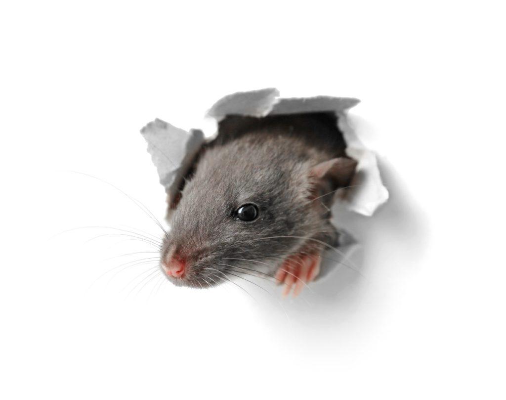 匹 下水 一 し て 鳴動 鼠